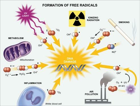 The-effects-of-free-radicals-on-our-cells